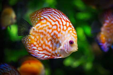 poisson-aquarium-discus-by-geradder